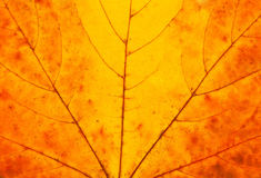 Textura da folha Imagem de Stock
