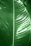Textura da folha da banana, grande fundo do verde da natureza da folha da palma imagens de stock royalty free
