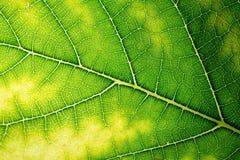 Textura da folha da amoreira (Morus Linn alba) Imagem de Stock