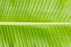 Textura da folha da banana Imagem de Stock