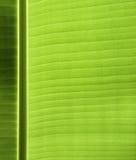 Textura da folha da banana Fotos de Stock