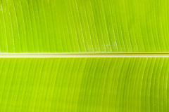 Textura da folha da banana Foto de Stock