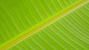 Textura da folha da banana Foto de Stock Royalty Free