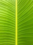 Textura da folha da banana Imagem de Stock Royalty Free