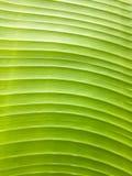 Textura da folha da banana Fotos de Stock Royalty Free
