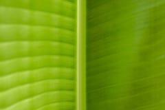 Textura da folha da banana fotografia de stock royalty free