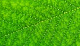 Textura da folha da cereja Fotografia de Stock
