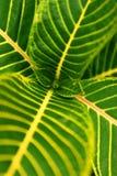 Textura da folha da planta tropical (centro) Imagens de Stock Royalty Free