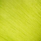 Textura da folha da samambaia do pássaro Imagens de Stock