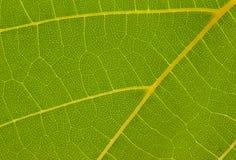 Textura da folha da uva Fotos de Stock