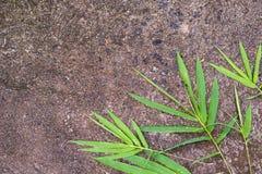 Textura da folha de bambu Imagens de Stock