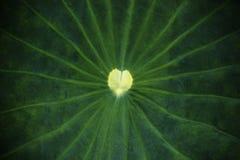 Textura da folha de Lotus Foto de Stock