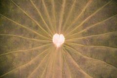 Textura da folha de Lotus Imagem de Stock Royalty Free