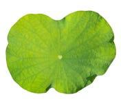 Textura da folha de Lotus Imagens de Stock Royalty Free