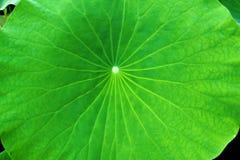 Textura da folha de Lotus Fotografia de Stock