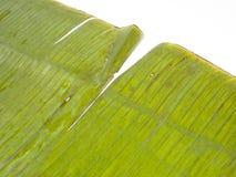 Textura da folha de palmeira Imagem de Stock