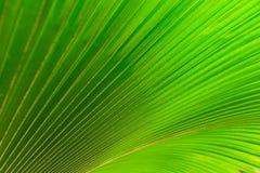 Textura da folha de palmeira verde Fotografia de Stock