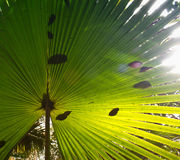 Textura da folha de palmeira verde Opinião do Close-up Imagem de Stock Royalty Free