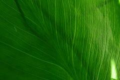 A textura da folha de um lírio de água com luz solar Imagens de Stock Royalty Free