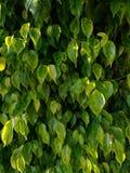 A textura da folha decorativa é da forma clássica Imagens de Stock
