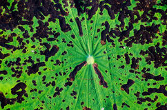 Textura da folha dos lótus Fotos de Stock