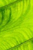 Textura da folha, fundo Imagens de Stock
