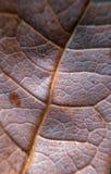 Textura da folha seca fotografia de stock royalty free