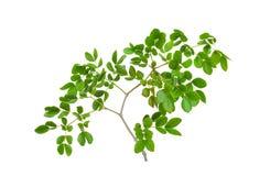 Textura da folha verde fotos de stock royalty free