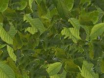 Textura da folha verde Fotografia de Stock