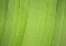 Textura da folha verde Imagem de Stock