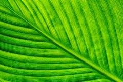 Textura da folha verde da árvore Imagens de Stock