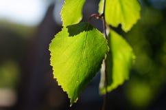 Textura da folha verde do vidoeiro fotografia de stock