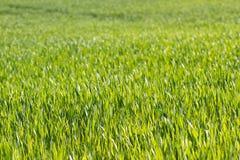 Textura da grama da cor verde Campo de brotos do trigo, Ucrânia Imagem de Stock Royalty Free