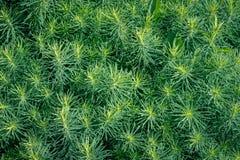 A textura da grama do horsetail, a vista superior G verde-claro fotos de stock