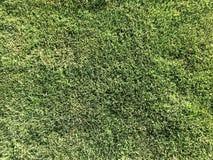 A textura da grama original vibrante macia natural fresca festiva bonita macia do gramado, inglesa limpa o gramado ordenadamente  Foto de Stock Royalty Free