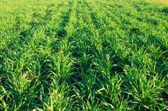 Textura da grama verde Imagens de Stock Royalty Free