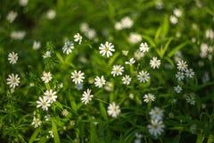 Textura da grama verde da mola com o close up das flores brancas imagens de stock