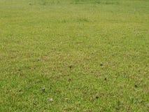 Textura da grama verde para o fundo Fotos de Stock Royalty Free