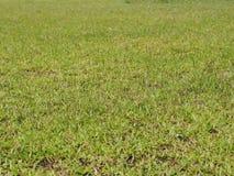 Textura da grama verde para o fundo Foto de Stock Royalty Free