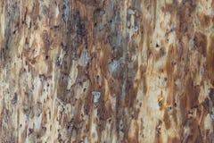 Textura da madeira do besouro de casca imagem de stock royalty free