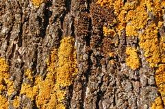 Textura da madeira do tronco da oliveira Imagens de Stock Royalty Free