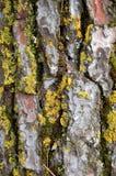Textura da madeira do tronco de árvore do pinho Imagem de Stock