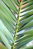 Textura da palma Fotografia de Stock