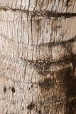 Textura da palmeira Fotos de Stock
