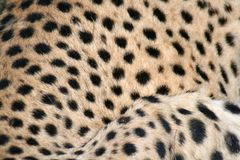 Textura da pantera Imagens de Stock