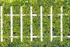 Textura da parede da planta verde Imagens de Stock Royalty Free