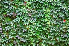 Textura da parede das folhas Fotografia de Stock Royalty Free