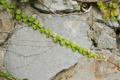 Textura da parede de pedra com folhas da uva Fotos de Stock