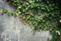 Textura da parede do cimento do Grunge e hera verde da folha com espaço Fotos de Stock Royalty Free