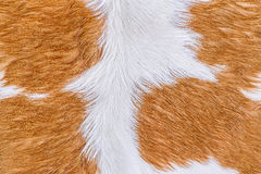 Textura da pele da vaca (pele) fotografia de stock